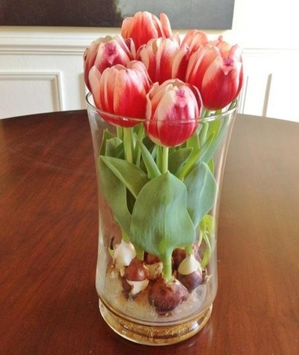 Тюльпаны будут цвести на протяжении всего года! Растим дома без земли – открываем секрет, как это сделать!