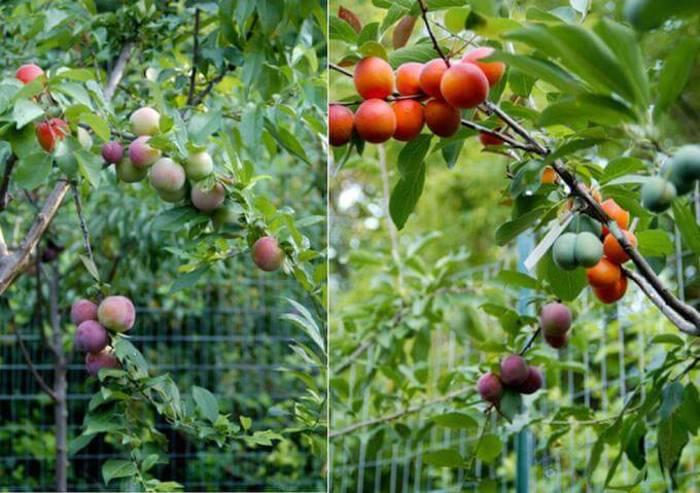 Совершенно необыкновенное дерево плодоносит 40 видами косточковых фруктов! Это потрясающе!