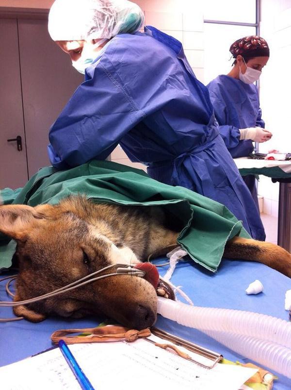 Когда мужчина увидел в канаве волка, он решил его спасти… Совершенно удивительная история!