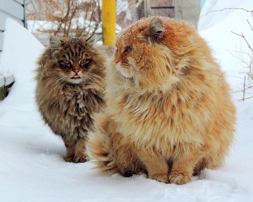 Женщина из Барнаула 10 лет разводит сибирских котов – собрала целую армию! Да какую!