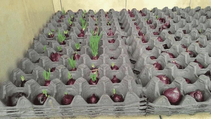 Оригинальный способ выращивания лука – а вы бы додумались?
