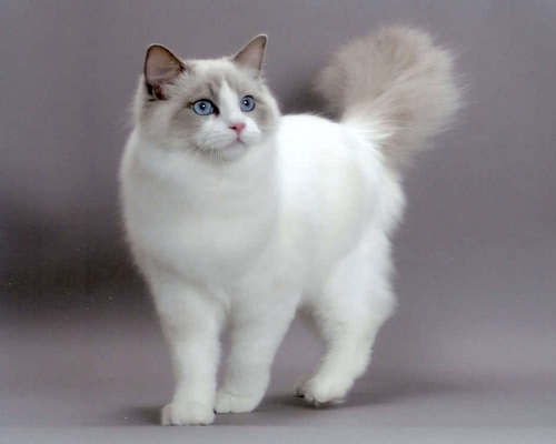 Кошка, которая заняла первое место на кошачьем конкурсе красоты! Настоящая красавица и модница!