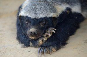 Медоед довел сотрудников зоопарка буквально до истерики! Ну, невозможно с ним справиться! Он снова и снова делает это!