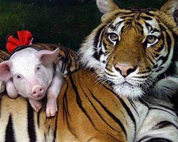 Тигрица после потери детенышей сильно тосковала и работники зоопарка решили ее спасать, одев поросят в полосатые костюмы…