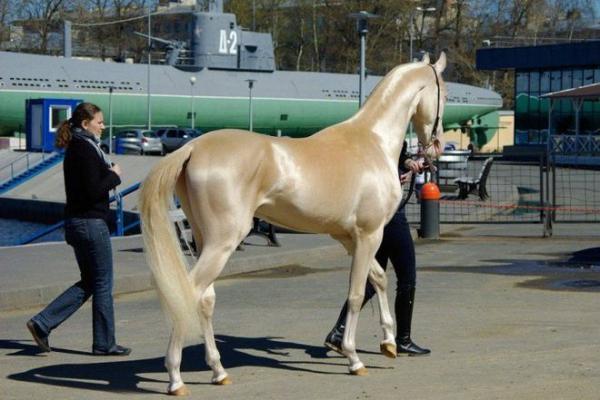 Одна из наиболее древних пород лошадей – только посмотрите на этих красавцев!