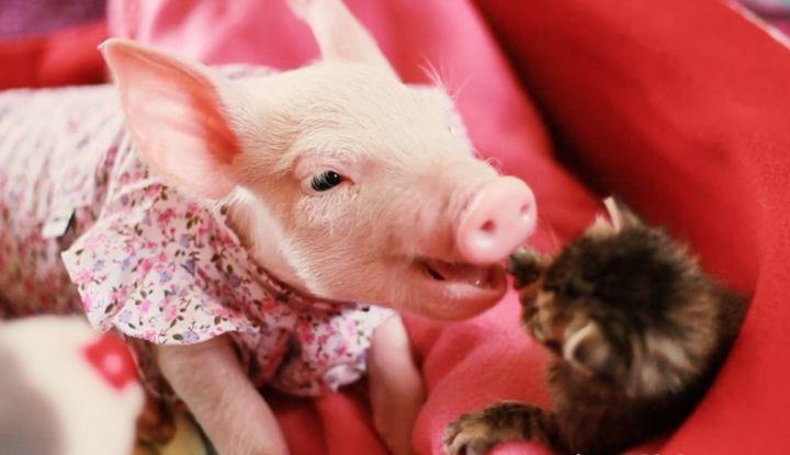 Котенок, оставшийся сиротой, нашел себе сестру – ею оказалась свинка! Очень трогательное видео о странной дружбе!
