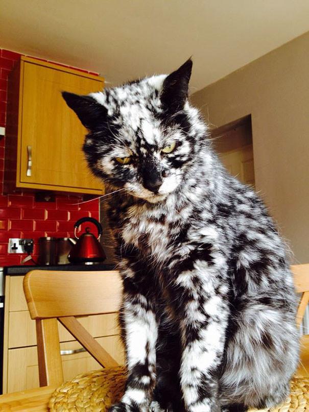 Уморительные фото с необычными окрасами кошачьих – так пошутить может только природа!