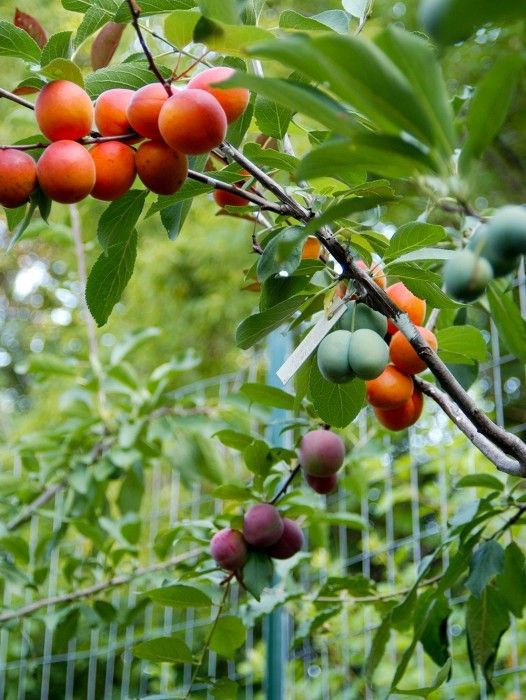 На этом дереве растет 40 видов разных фруктов! Не верите? Смотрите фото и видео!