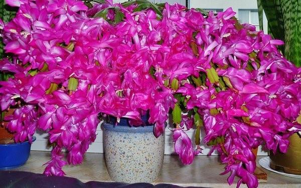 Небольшой лайфхак для тех, кто хочет заставить цветы в доме цвести долго и пышно! Это работает!