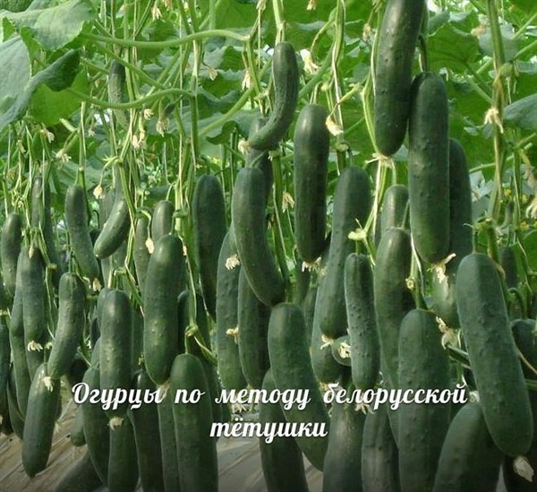 Огурцы теперь сажаю исключительно по методу белорусской тетушки. И собираю изумительный урожай!
