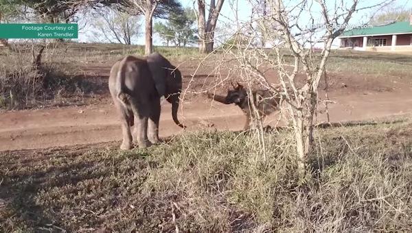 Маленького слоненка отвергло стадо и он впал в депрессию… А потом встретил необычного друга! Смотрите видео!