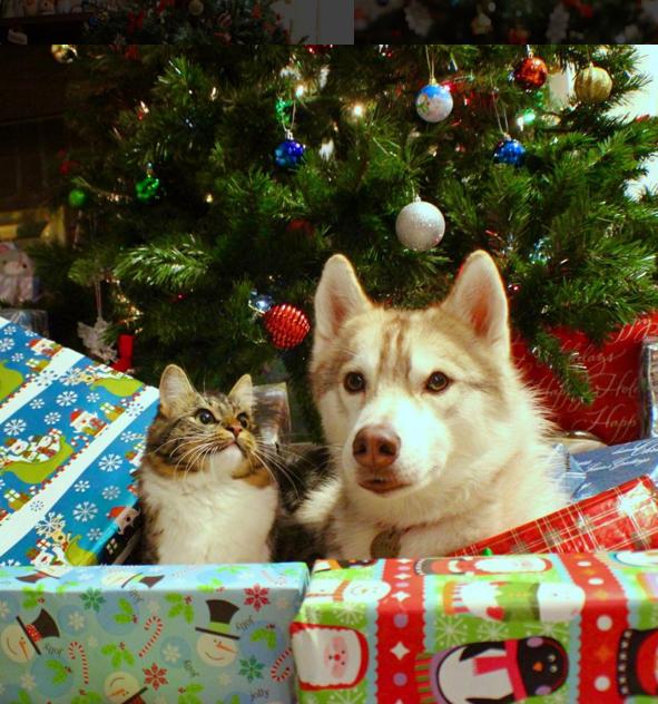 Котенка вырастили хаски и теперь он думает, что тоже собачка! Только посмотрите на эту классную компанию!