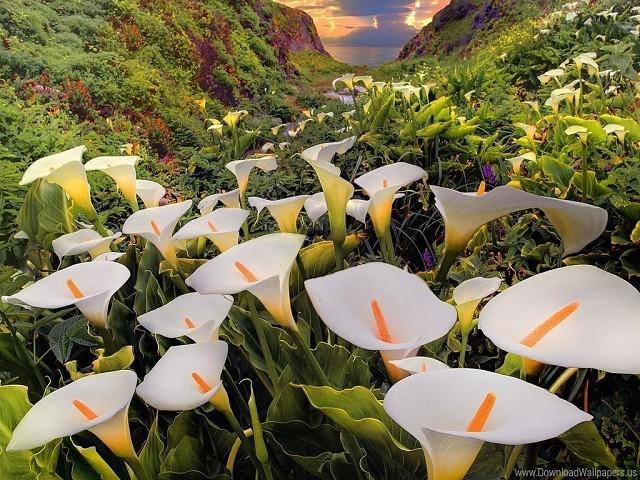 Красивейшая долина диких калл – дух захватывает от такого невероятного чуда!