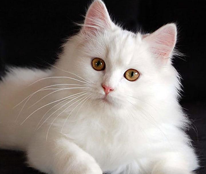 А какая порода кошек идеально подходит вам в соответствии со знаком Зодиака?
